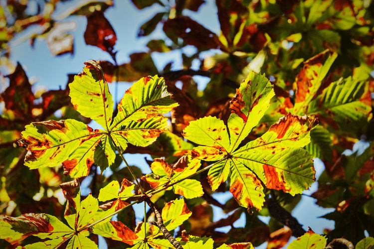 Beautiful horse chestnut leaves against the blue sky ,low angle view, texture and colors highlighted Autumn Leaves Backlight Horse Chestnut Tree Low Angle View Autumn Beauty In Nature Botany Conker Tree Day Focus On Foreground Foliage Leaf Vein Leafy Leaves Lightness Margin No People Outdoors Plant Plant Part Stems Sunlight Tranquility Vibrant Colors Yellow