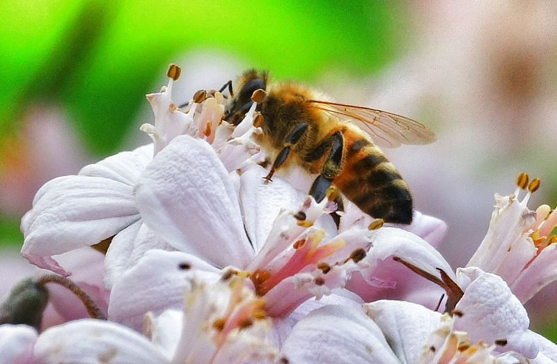 Close-up of honey bee on white flowers