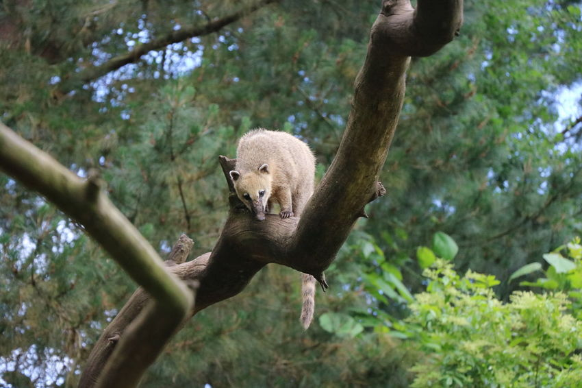 Coati France Zoo De La Flèche Animal Animal Themes Animal Wildlife Animals In The Wild Branch Day Forest Land Nature No People One Animal Outdoors Plant Tree Vertebrate Zoology