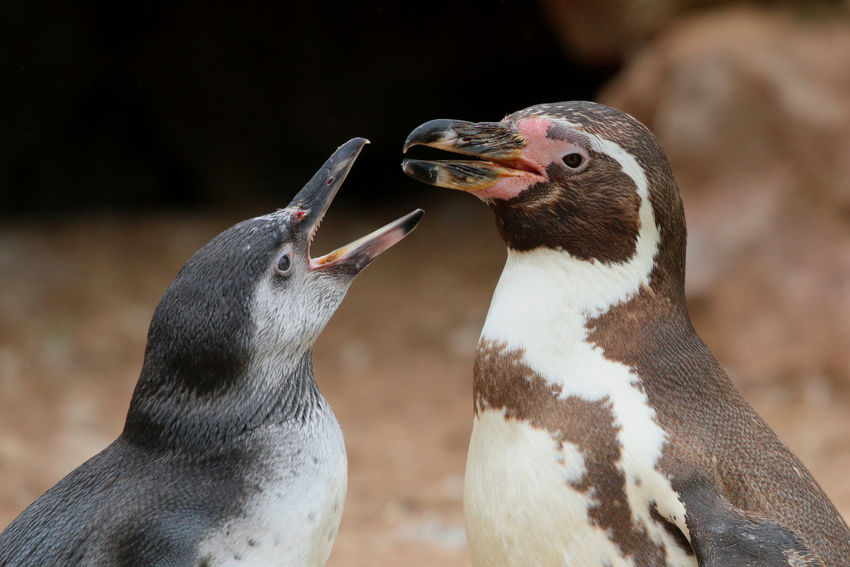 Pair of Penguins Animal Animal Family Animal Themes Animal Wildlife Animals In The Wild Beak Bird Care Close-up Day Focus On Foreground Food Group Of Animals Mouth Mouth Open Nature No People Outdoors Penguin Togetherness Two Animals Vertebrate