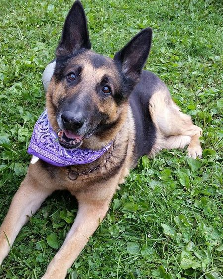 We're gonna miss you, buddy. Hope there's lots of lasers and plenty of food to eat wherever you may be. RIP Oso. Germanshepherd Rip Oso  Osito Sadday