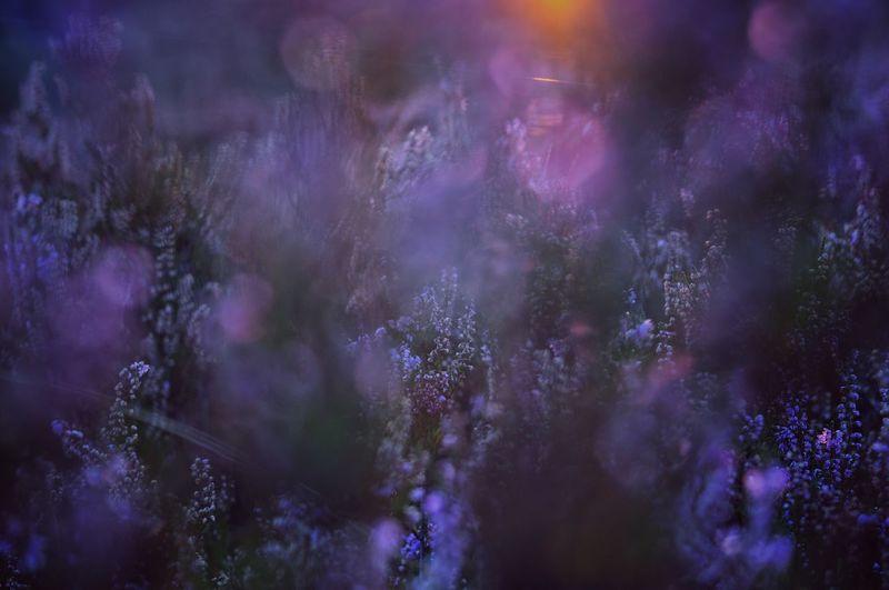 Heide bokeh 4 Purple Muir Moor  Erica Heathland  Heatherfield Heathers Heather Flower Heather Heath Heide Summer Bokeh Flower Planet Earth Beauty Springtime Dawn Atmospheric Mood