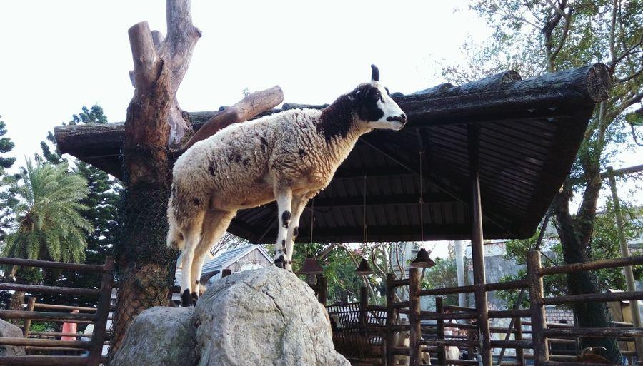 One Animal Mammal Sheep Sheep Stand On Rock Rock