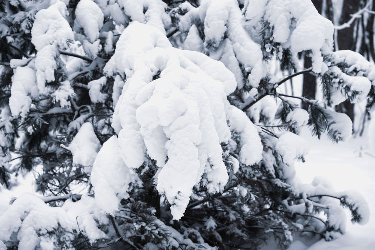 Snow covered tree branches in winter. Natural texture and background, copy space for text Winter Snow Cold Temperature No People Nature White Color Frozen Day Plant Beauty In Nature Tree Outdoors Snowing Close-up Ice Tranquility Christmas New Year Background Snow Day Nature