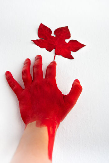 Close-up of hand on red maple against white background