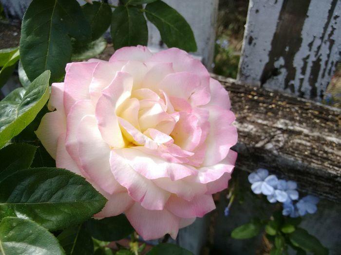 Flower Rose🌹