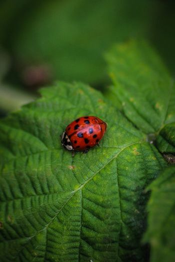 Insect Animals In The Wild Leaf One Animal Animal Themes Ladybug Green Color Close-up No People Outdoors Day Nature Tiny Red Macro