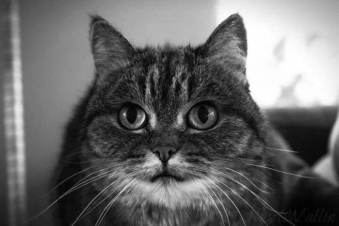 Selma the cat Cat♡ Animal Family❤ Black & White