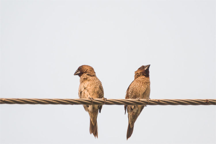 Ricebirds Is Resting Standing On The Wire At White Backdrop. Abstract Animal Backdrop Birds Distinct Eccentric EyeEm Best Shots Feather  Fluffy Fly Freedom Learn & Shoot: Simplicity Low Angle View Nature Outdoors Poultry Ricebirds Sparrow Standout Swain The Great Outdoors - 2016 EyeEm AwardsUnique White Wire