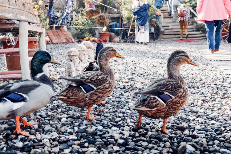 Ducks in a city