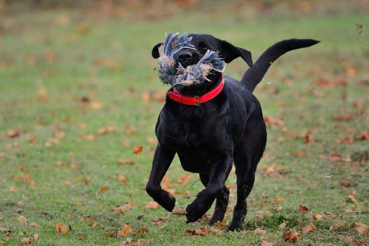 Black dog running on grass