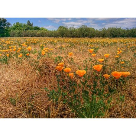 Out on the Farm ... Lockewoodacres Csa Rural Vacavilleca Agriculture California Poppy
