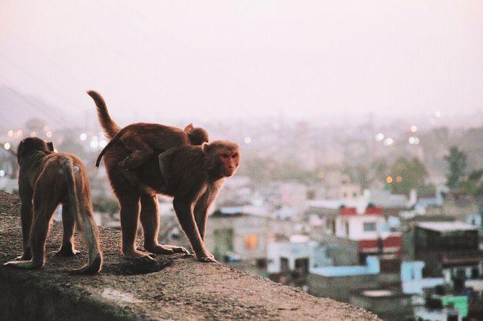 India Hello World Traveling Travel Travel Photography Wanderlust ASIA Monkey Temple Sunset Hanging Out Explore Honeymoon Monkeys Monkey Business Showcase: February The Street Photographer - 2016 EyeEm Awards Feel The Journey
