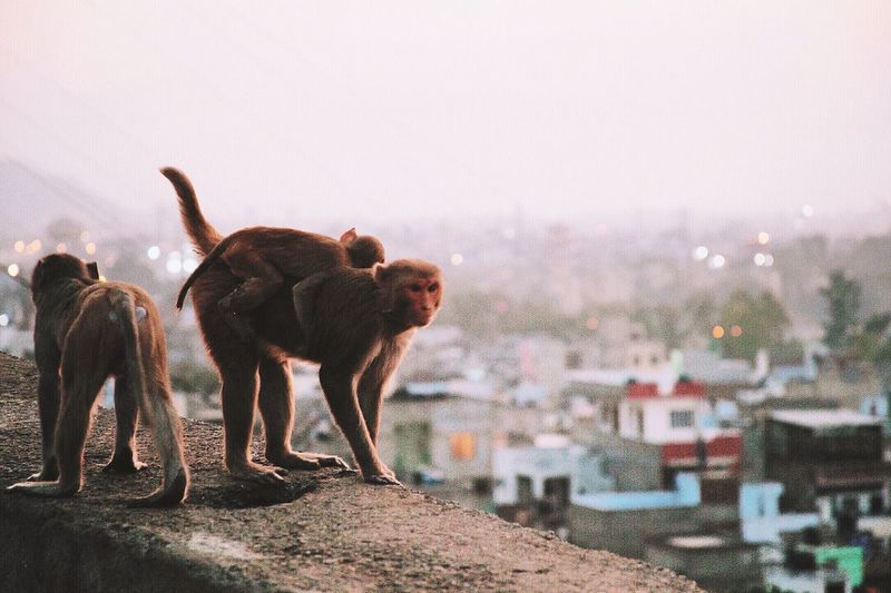 Monkeys on wall
