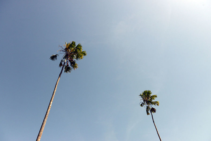 Beauty In Nature Clear Sky Day Growth Low Angle View Nature No People Outdoors Palm Tree Siwalan Sky Tree