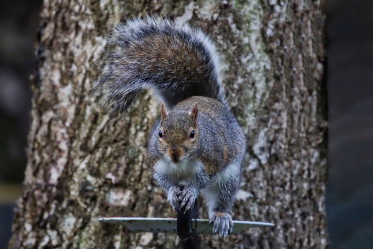Portrait of gray squirrel on pole against tree trunk