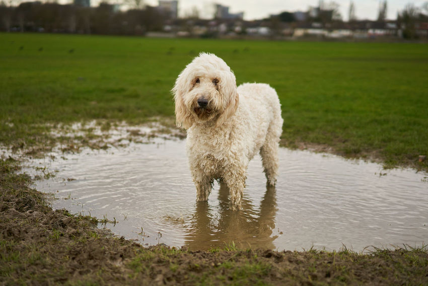 Zero Guilt. Puddle Dog In Puddle Wet Dog Labradoodle Pet Portraits Muddy Dog Muddy Puddles Muddy Paws Dog Pets Animal Domestic Animals Portrait Happiness Grass Water