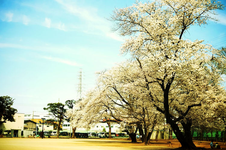 Chrry Blossoms Colors Japan Japan Photography Nature Sakura Beauty In Nature Bloom Blossom Cloud - Sky Color Colorful Day Nature Park Photo Photographer Photography Photooftheday Plant Sky Spring Spring Flowers Springtime Tree