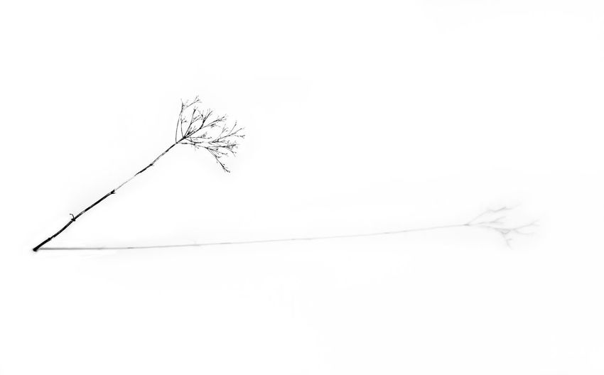 Alone Black & White Black And White Blackandwhite Branch Fragility Lonelyness Monochrome Monochrome Photography Nature One Plant Outdoors Plant Plant On Snow Plant Shadow Shades Of Grey Shadow Single Object Single Plant Single Twig Snow Twig White Background Winter