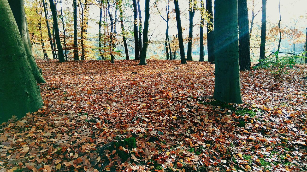 leaf, autumn, change, nature, tree, leaves, tree trunk, forest, fallen, dry, beauty in nature, tranquility, scenics, day, outdoors, no people, tranquil scene, growth, branch, landscape, maple