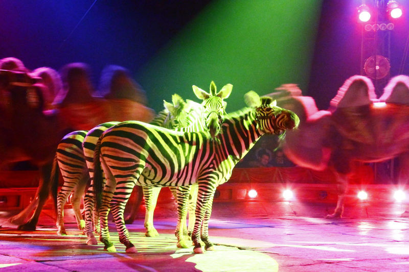 Animal Themes Arts Culture And Entertainment Capture The Moment Circo Moira Orfei Circus Elégance Enjoyment Full Length Glowing Light In The Darkness Music Natural Pattern Nature One Animal Safari Animals Savannah Side View Standing Striped Two Animals Wildlife Zebra Zoology