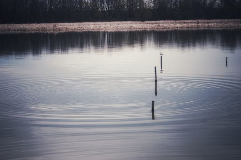 Calm evening. Water Lake Wooden Post Reflection Standing Water Remote Water Surface Shore Calm Pole Non-urban Scene Swimming Animal Countryside Idyllic
