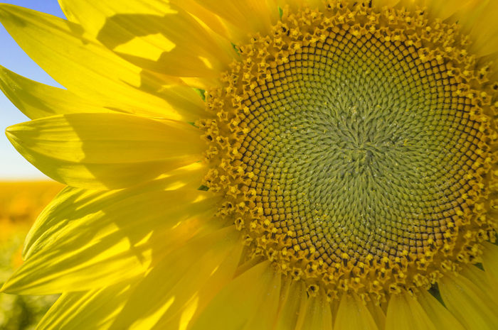sunflower Beauty In Nature Close-up Extreme Close-up Flower Flower Head Flowering Plant Fragility Freshness Growth Inflorescence Natural Pattern Nature No People Petal Plant Pollen Pollination Sunflower Vulnerability  Yellow