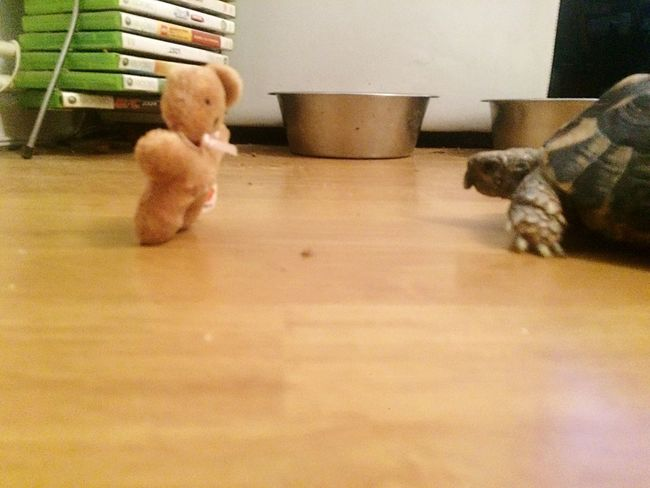 Stand off... EyeEmNewHere Tortoiselife Toy Indoors  Domestic Pets Flooring Domestic Animals Mammal No People Teddy Bear