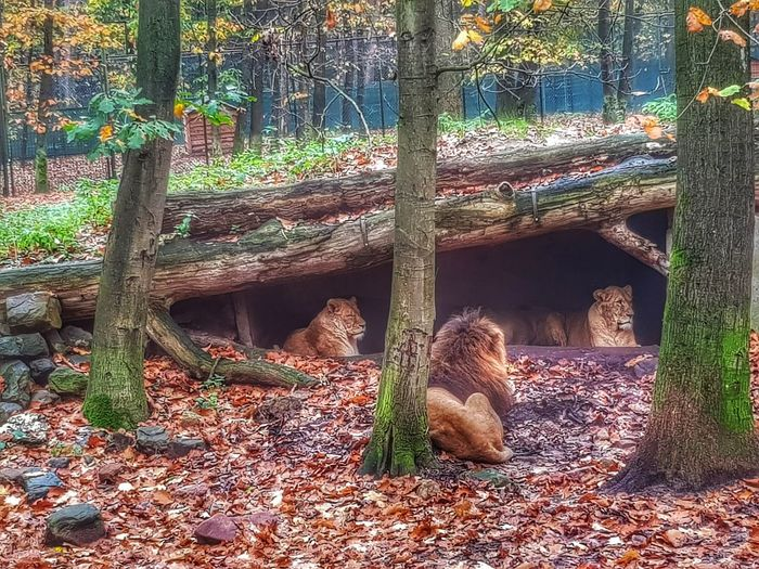 Höhle der Löwen... 🦁 Where The Lions SleepDay Animal Themes Nature Animals In The Wild Mammal Lion Perspectives On Nature Animal Wildlife Animal Photography Nature_collection EyeEm Best Shots EyeEm Nature Lover Autumn