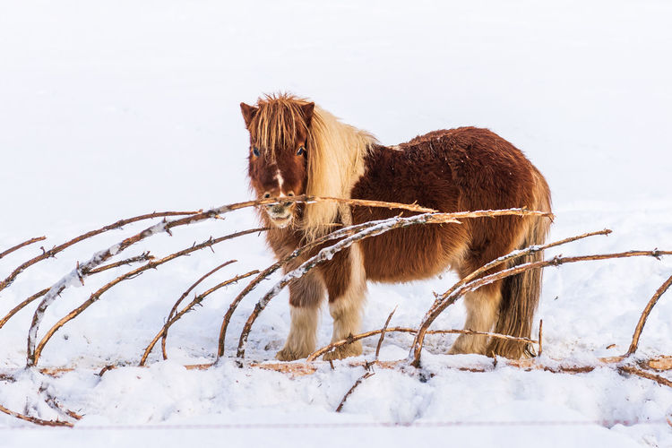 A pony standing on the snow next to a bitten coniferous tree.