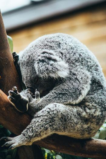 Close-up of koala bear resting on tree in zoo