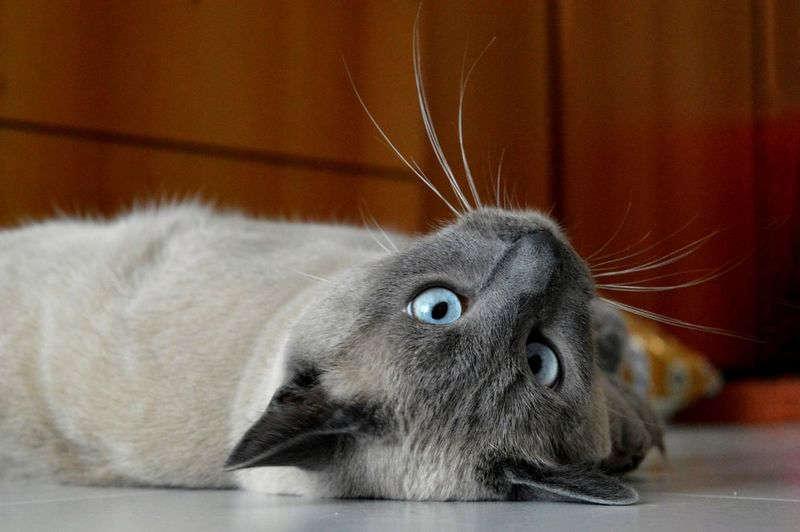 upside down Upside Down Siamese Cat Pets Domestic Cat Close-up Whisker Animal Nose Tabby Animal Face Adult Animal At Home Kitten Carnivora Cat Feline Animal Eye Animal Mouth Snout Animal Tongue Animal Head