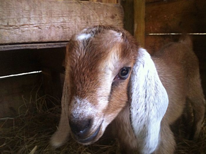 Animal Goat Cute Pets Lovable Pets! Animal_collection Goatfarm Animal Photography Goat Life Serenitygoats Serenityacres