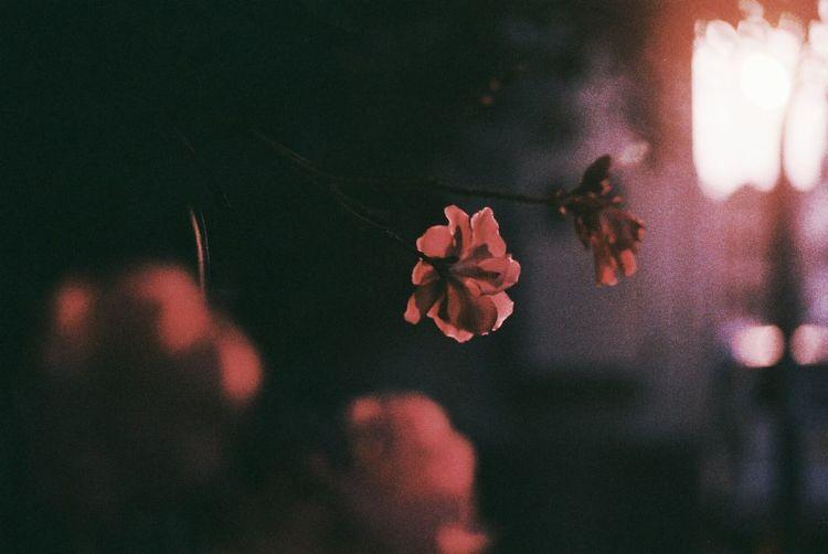 期限切れフィルム Macro Macro_flower Macro Photography Macro_collection Pink Pink Flower Flowers Flower Photography Flower Collection Flowerlovers Sunset Film Film Photography Filmcamera Nikon Nikonphotography NikonFM2 Kodakfilm Nature Fine Art