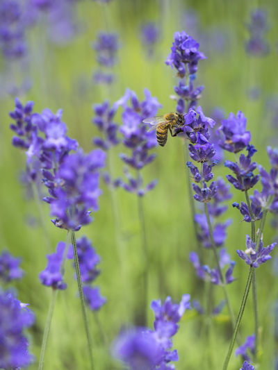 Bienen Bei Der Arbeit Field Animal Animal Themes Animal Wildlife Animals In The Wild Beauty In Nature Bee Biene Auf Blume Close-up Flower Flowering Plant Insect Lavendel Lavender Lavender Flowers Nectar No People One Animal Plant Pollination Purple Summer