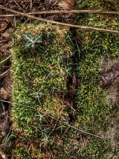 Nature Full Frame Growth Beauty In Nature Ivy Leaves Mossporn Moss-covered Ivy Leaves 🍁 Leaves On The Ground Leaves_collection Wintertime Green Green Green!  Hidden Brick For Friends That Connect  Hdr_Collection