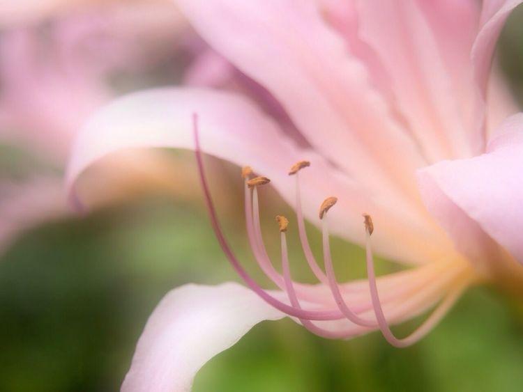 夏水仙 Flowerporn Nature_collection Macro_collection Summer