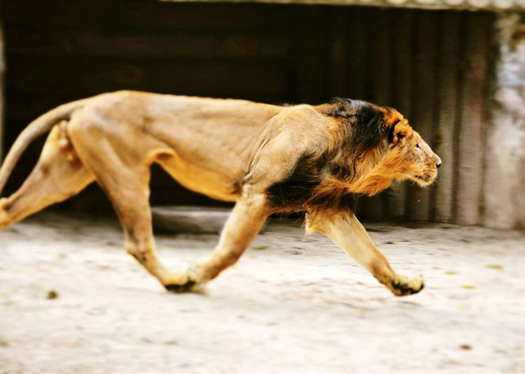 Side view of lion running