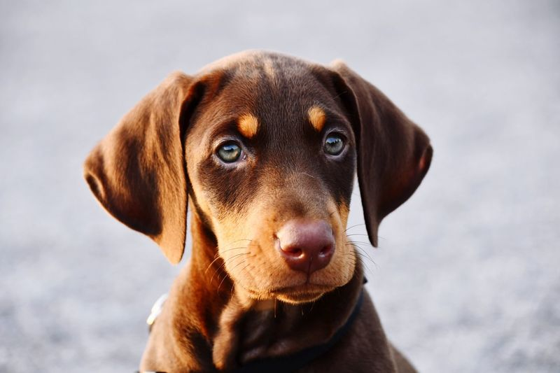 Red Doberman puppy Puppy Doberman Pinscher Canine Dog One Animal Animal Themes Mammal Pets Animal Domestic Animals Portrait Looking At Camera Focus On Foreground Close-up Animal Head  Brown No People Outdoors