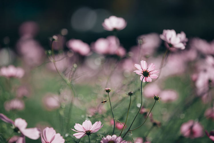 Cosmos Flower Cosmos Cosmos Field Wallpaper Wallpaper Background Backgrounds Background Flower Flowering Plant Fragility Freshness Vulnerability  Plant Growth Beauty In Nature Petal Pink Color Close-up Flower Head Focus On Foreground Inflorescence Nature No People Selective Focus Day Outdoors Land Pollen