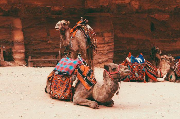 Traveling Travel Jordan Petra EyeEm Best Shots Camel Desert Vacation Nationalpark