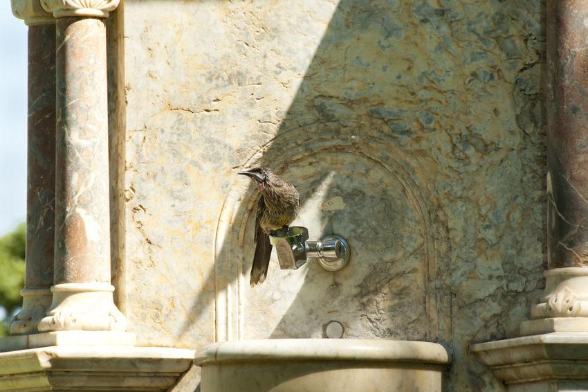 Wattle Bird in Kings Park Australia Perth Wattle Bird Bird Kings Park Nature Water Pipe