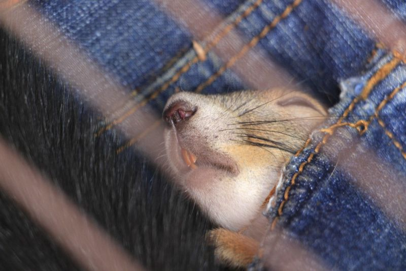 Animal Hair Animal Head  Animal Head  Animal Themes Caged Caged Animals Curiosity Cute Pets Face Pet Pet Photography  Sleeping Sleeping Animal Squarrel Tooth Zoology Mouse Animals Squirrel Closeup Squirrel