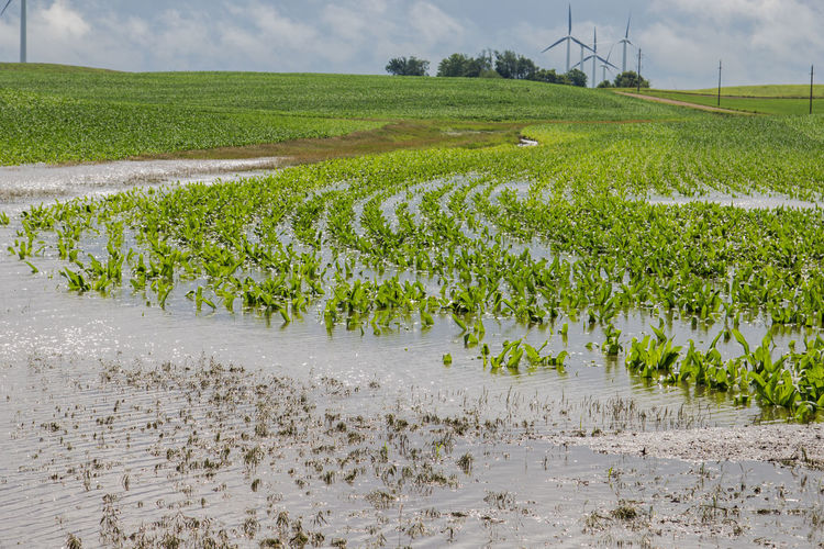 Green Agriculture Canon60d Canonphotography Corn Crop  Day Farm Field Flood Flooding Hill Landscape Plant Row Rural Scene Sky Standing Water Water Wet
