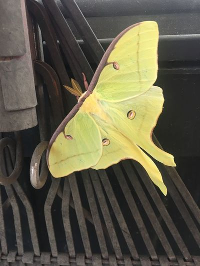 Close-up Outdoors Nature Luna Moth In Natural Environment Insect