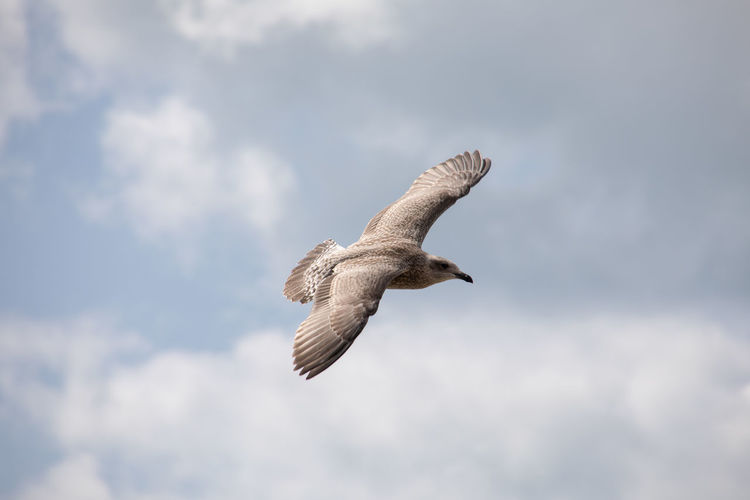 Seagull in flight with clouds in background Animal Animal Themes Animal Wildlife Animals In The Wild Bird Bird Of Prey Cloud - Sky Day Flying Low Angle View Mid-air Motion Nature No People One Animal Outdoors Seagull Sky Spread Wings Vertebrate