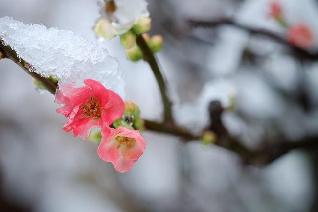 木瓜の花 EyeEm Nature Lover How's The Weather Today? Japanese Quince Flowers Flowerporn My Winter Favorites It's Cold Outside Macro Beauty
