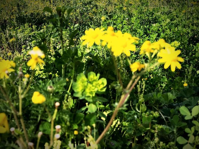 Papatya Plant Flowering Plant Flower Yellow Growth Freshness Beauty In Nature No People Vulnerability  Field Nature Selective Focus Outdoors Day Green Color Plant Part Fragility Sunlight Close-up Land My Best Photo