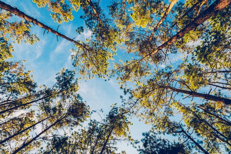 Pine Tree Wood Tree Low Angle View Plant Sky Branch Autumn Beauty In Nature Growth Change No People Nature Tranquility Day Leaf Plant Part Outdoors Cloud - Sky Tree Canopy  Directly Below Idyllic