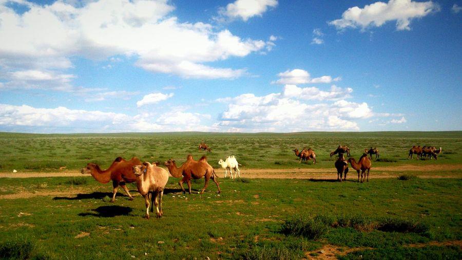 A Camel Mongolia Clouds Sky Grass Livestock